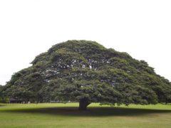 この木なんの木♪、ってハワイにあるってホント?