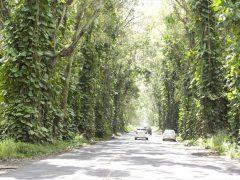 ツリー・トンネル /Tree Tunnel