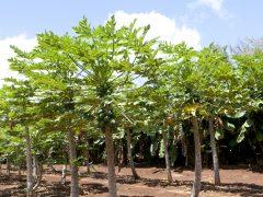 トロピカル・フルーツ畑が見学できる「カフク・ファーム」