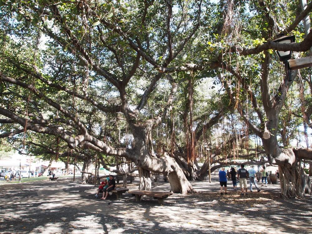 ラハイナ・バニアンツリーとラハイナ・バニアンコート/Lahaina Banyan Tree & Lahaina Banyan Court