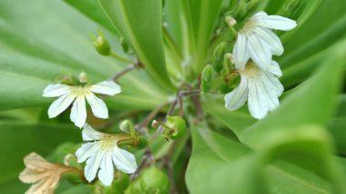 「ナウパカ」女神ペレの嫉妬で引き裂かれた男女の魂が宿る花