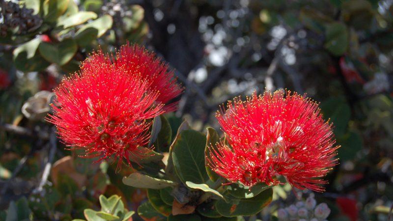 ハワイ伝説「オヒアレフア」は木花に姿を変えられた恋人たち