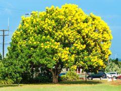 恋もお金も呼び込んじゃう「黄金樹(ゴールドツリー)」のお花