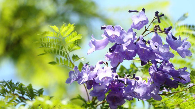 神秘的な美しさ!「紫の桜」の異名持つジャカランダ