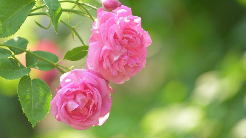 マウイ島を象徴するお花♪天国のバラを意味する「ロケラニ」