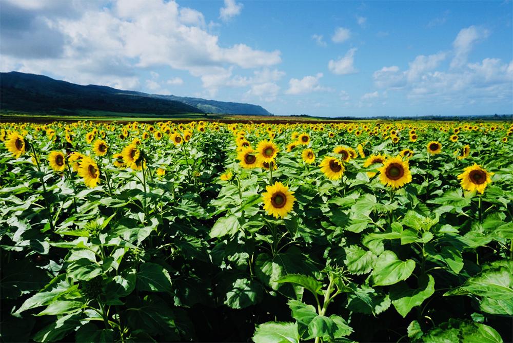 ワイアルアのひまわり畑はインスタ映えするパワースポット