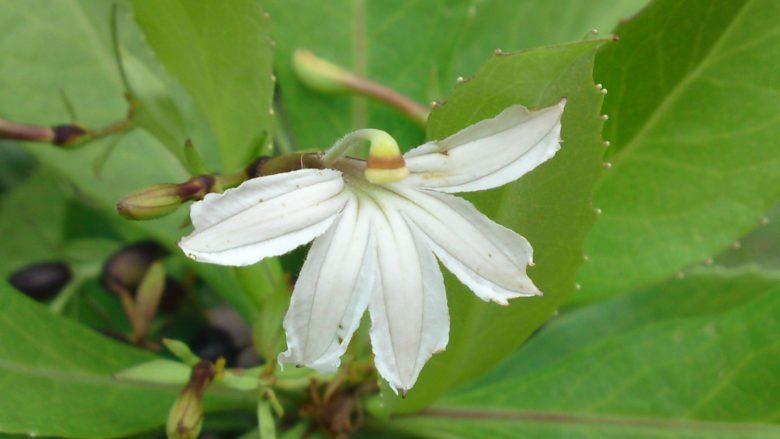 【ハワイの伝説】半円形の花に隠されたナウパカの悲恋