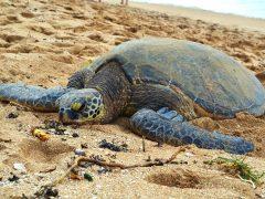ホヌ(ウミガメ)に出会えるノースショアのビーチ