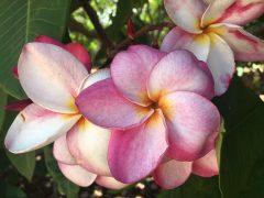 おうちをトロピカルに♪自宅で育てたいハワイや南国を感じる植物5選