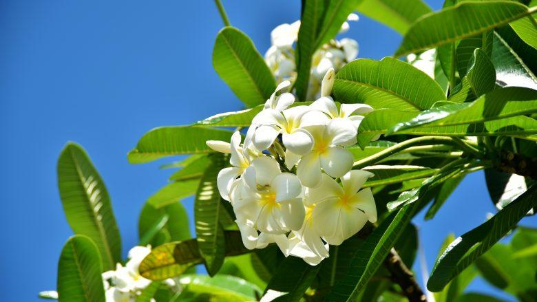 ハワイの花じゃないの?プルメリアにまつわるお話