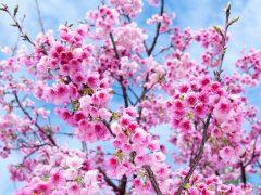 サクラサク!ハワイのお花見事情とは?