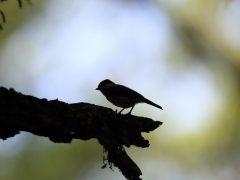 カヌー作りの女神レアの化身!ハワイ固有の小鳥エレパイオ