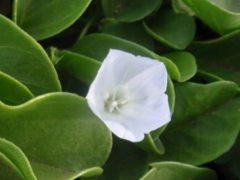 日差し対策には、この花?パウ・オ・ヒイアカの伝説