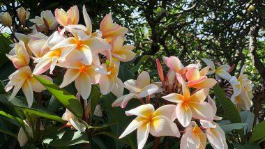 夏になると満開になるプルメリアの聖地、ココヘッドボタニカルガーデン