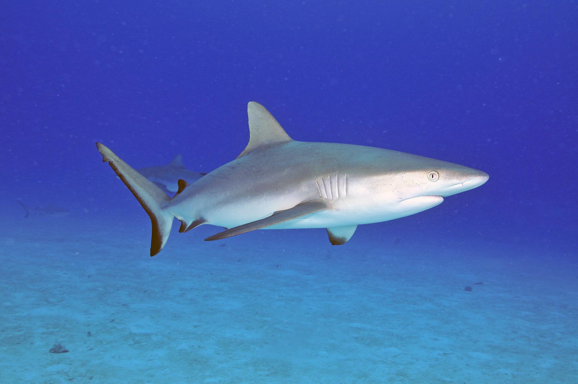 海を泳ぐ鮫