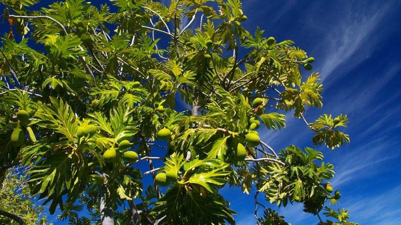 ハワイのスーパー植物 ウル
