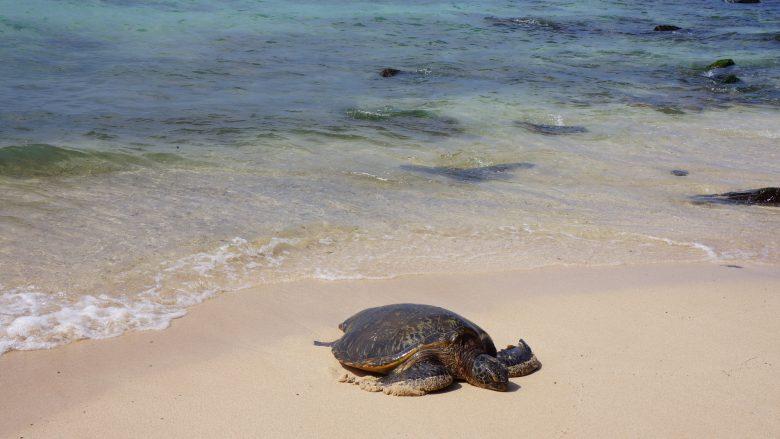 ハワイのウミガメ「ホヌ」は海の守り神!出会えるビーチは?