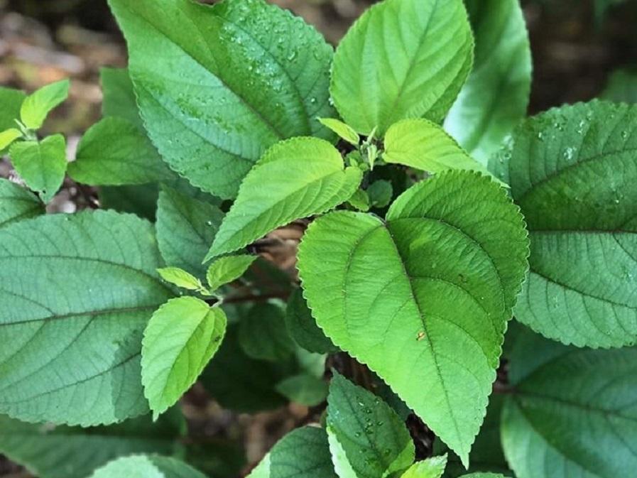 ママキの葉