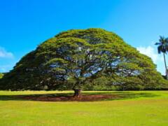 日立のCM「この木なんの木♪」で有名なハワイのモンキーポッド