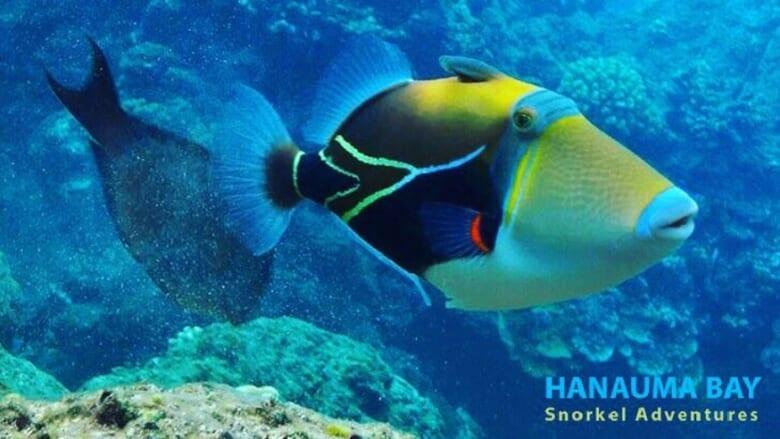 ハワイ州の魚「フムフムヌクヌクアプアア」とは?日本でも出会える場所をご紹介!