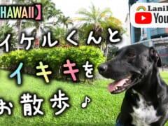 【4K HAWAII】犬好き必見!癒しのマイケルくんとワイキキの街をお散歩♪