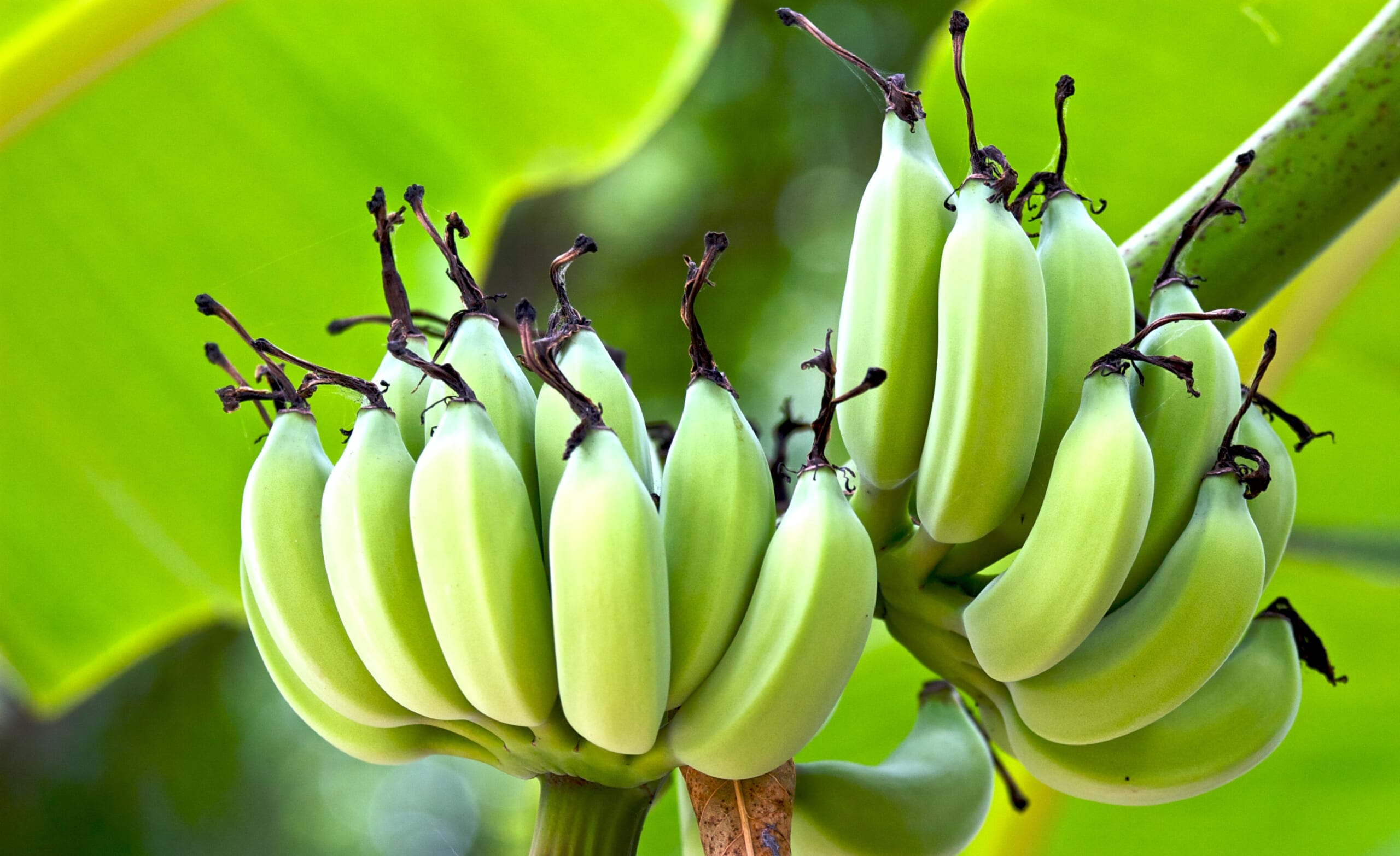 banana_hawaii
