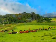 ハワイのカウボーイの町!?マウイ島にあるパニオロタウン「マカワオ」をご紹介