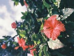 実は全部外来種?!ハワイで有名な植物の歴史を学ぼう