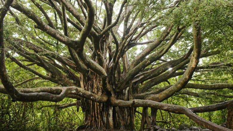 ハワイのシンボル的な木「バニヤンツリー/Banyan Tree」とは?
