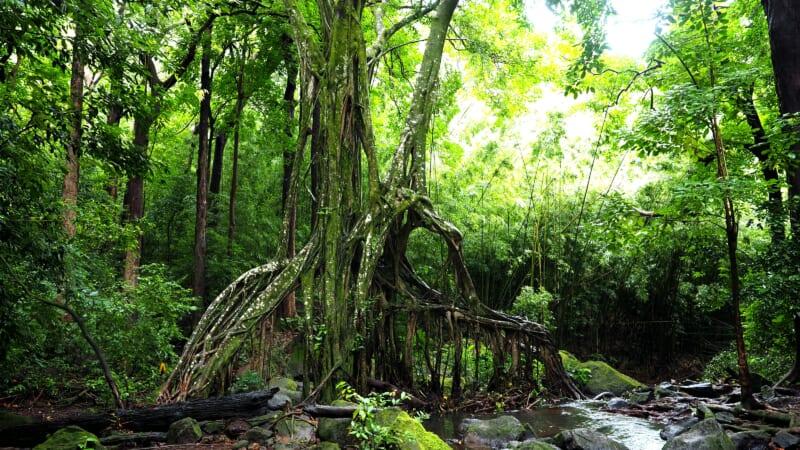 【在住者レポート】オアフ島にある妖精の森「ジャッド・トレイル /Judd Trail」を楽しもう!