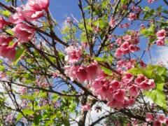 【在住者レポート】今年もハワイのワヒアワ地区に桜の季節がやってきた!ハワイで過ごすお花見パーティーの様子もお届け