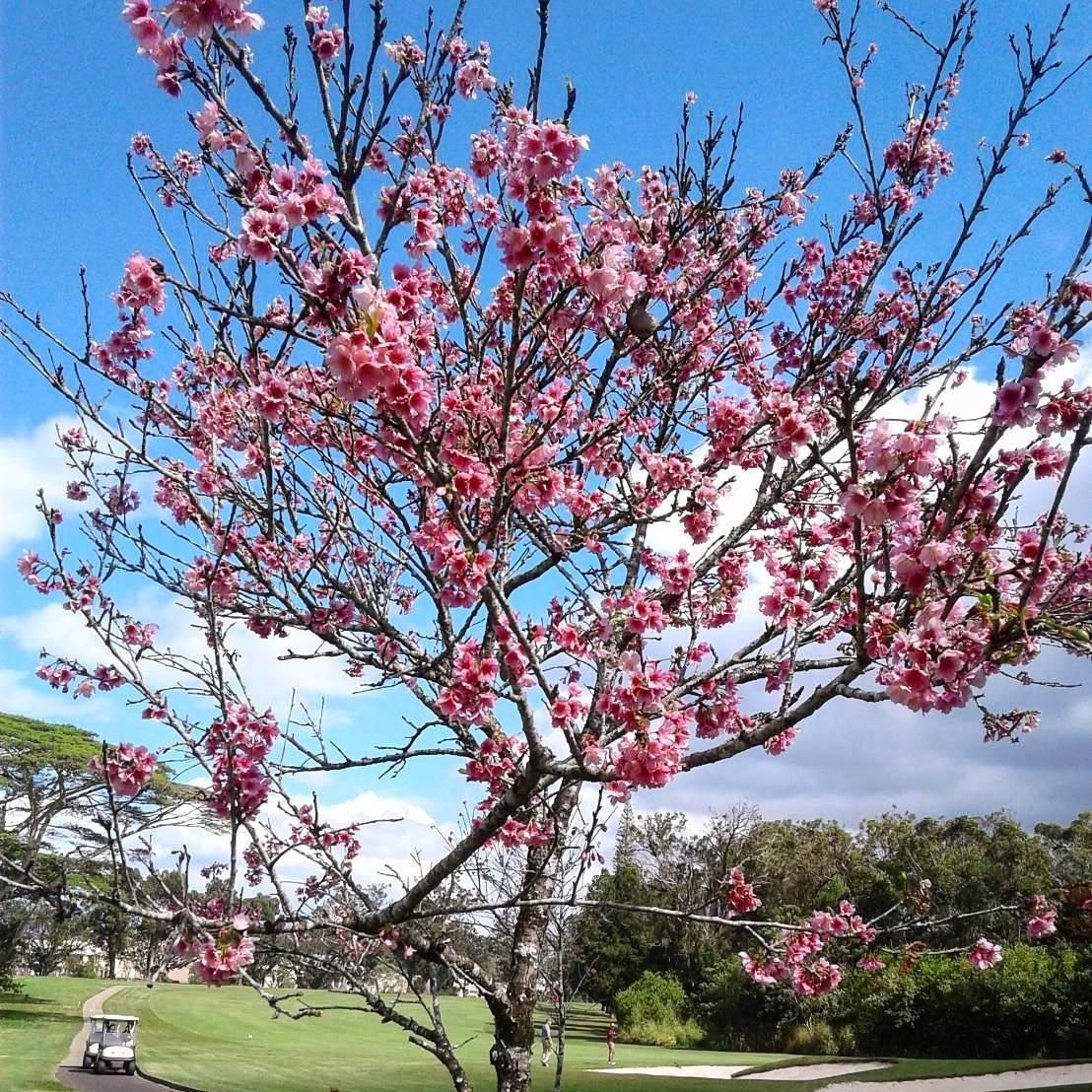 ゴルフ場の桜