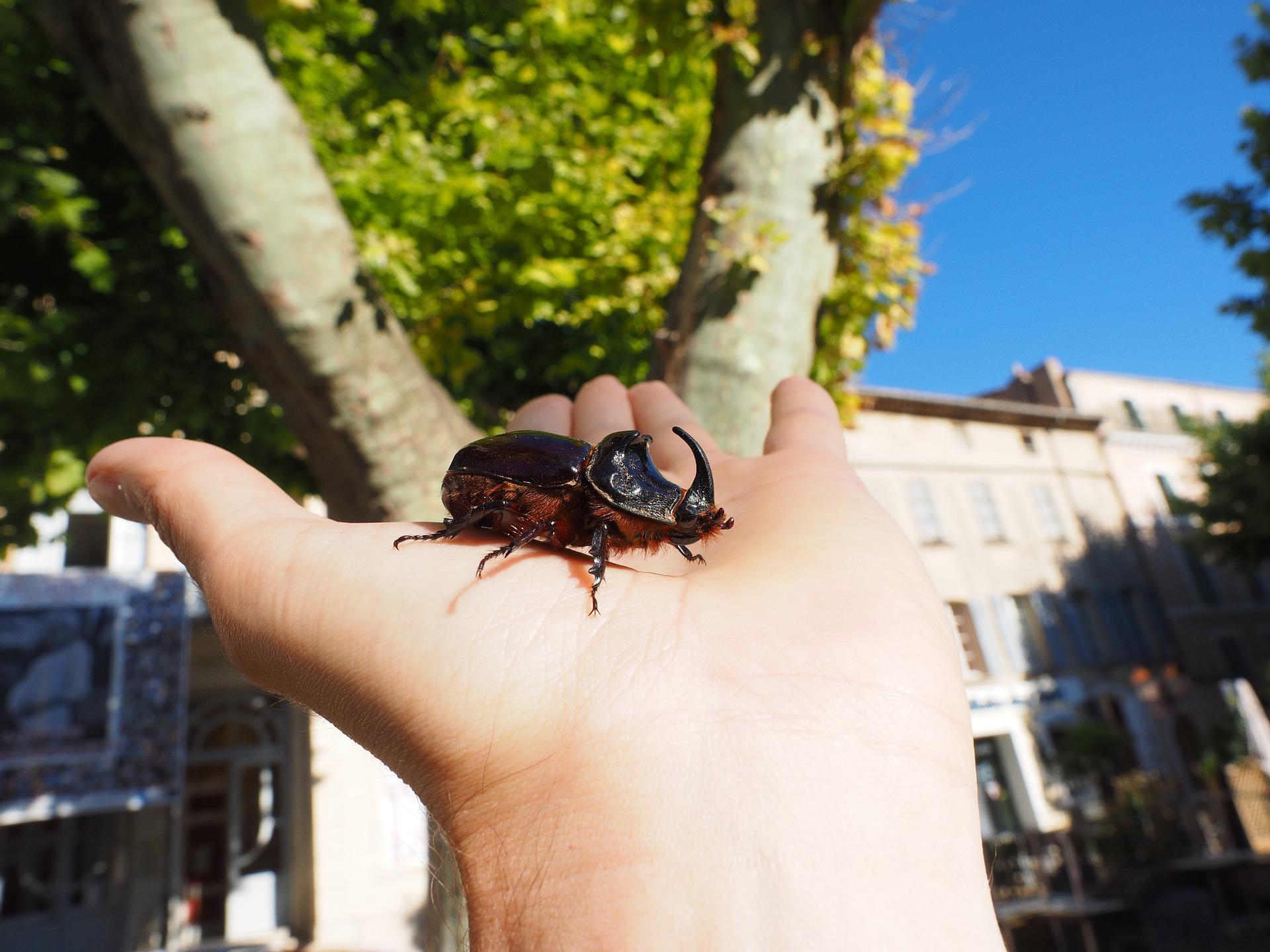 rhinoceros-beetle-1521626_1920